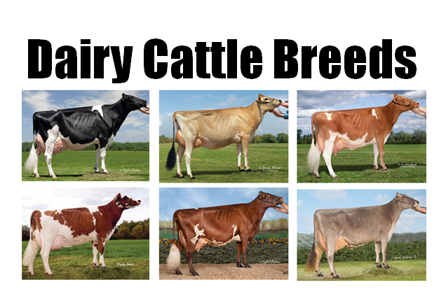 Breeds of Dairy Cattle | Dairy Moos