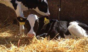 the cows have babies  dairy moos
